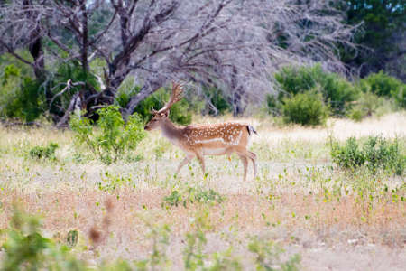south texas: Spotted fallow on a South Texas Ranch