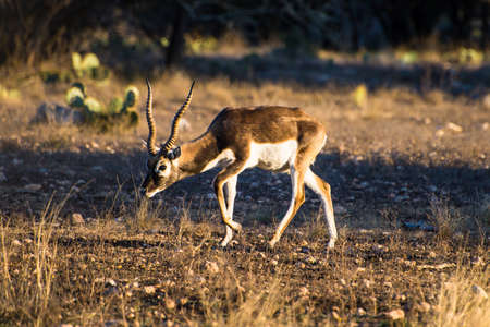 protect family: Blackbuck Antelope walking with his head down