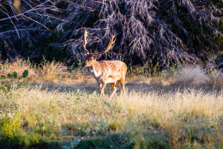 south texas: South Texas Spotted Fallow walking to the left Stock Photo