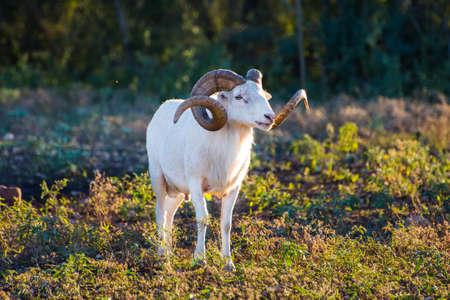 memoria ram: Tejas Dall RAM de las ovejas de pie alto mirando hacia la derecha Foto de archivo