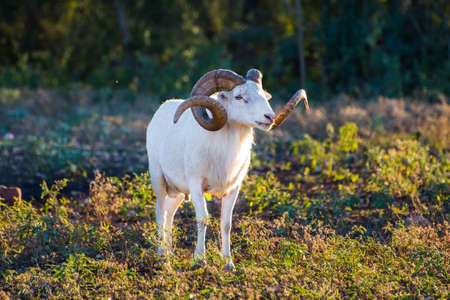 animalia: Texas Dall Sheep Ram standing tall looking to the right