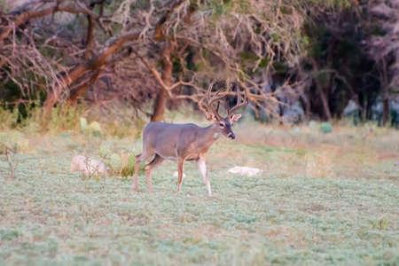whitetail: South Texas Whitetail buck in velvet before hunting season Stock Photo