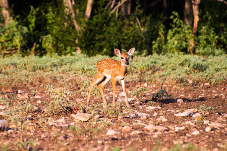 south texas: A young South Texas fawn standing awkwardly Stock Photo