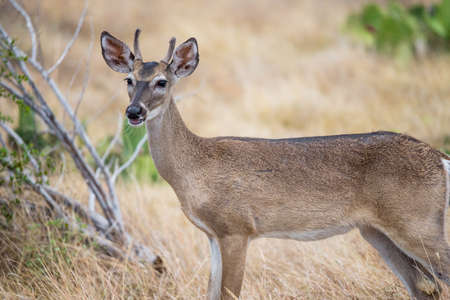 south texas: South Texas Yearling Buck spike standing in a field facing to the left Stock Photo