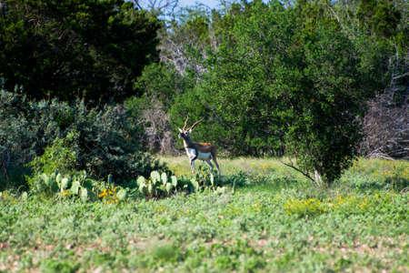Blackbuck standing on alert at the Pamandan Ranch