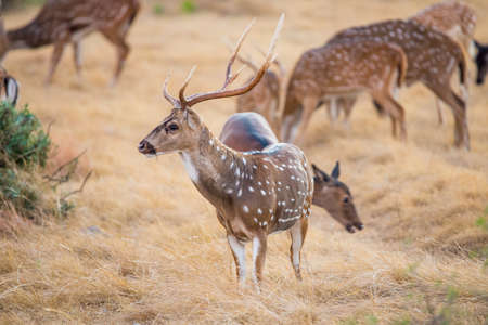 south texas: Wild South Texas Axis, Chital, or spotted Deer Buck.