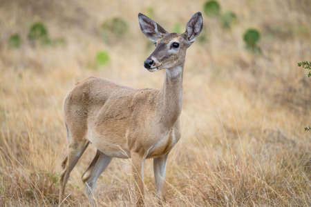 white tailed: Wild South Texas White tailed deer doe