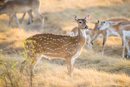 south texas: Wild South Texas Axis, Chital, or spotted Deer Doe. Stock Photo