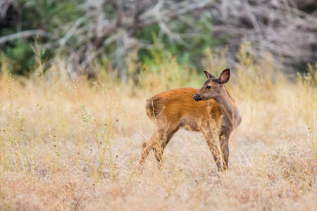 fawn: Wild South Texas chocolate fallow deer Fawn Stock Photo