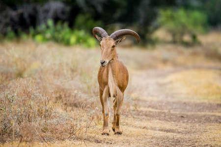 barbary: Texas wild Aoudad or Barbary sheep ram Stock Photo