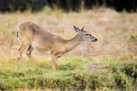 whitetail: Wild South Texas Whitetail deer doe drinking