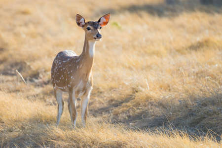 spotted: Wild South Texas Axis, Chital, or spotted Deer doe. Stock Photo