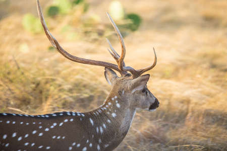 south texas: Wild South Texas Axis, Chital, or spotted Deer Buck close up.