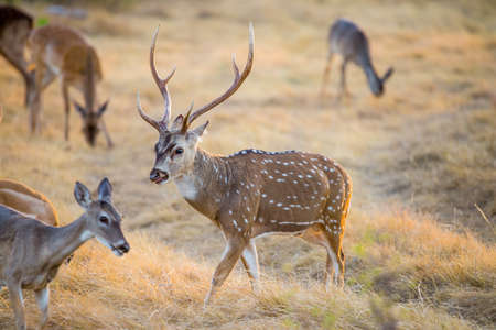 axis: Wild South Texas Axis, Chital, or spotted Deer Buck.