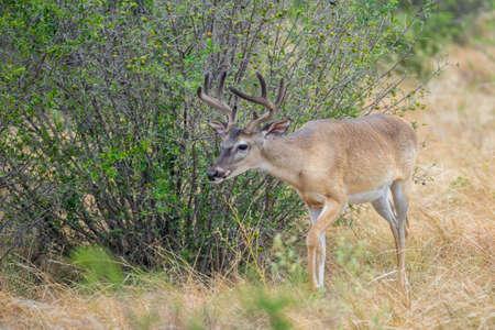 south texas: Wild South Texas Whitetail deer buck in velvet Stock Photo