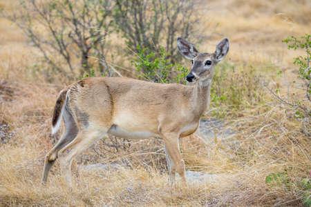 south texas: Wild South Texas Whitetail deer female doe