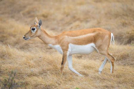 south texas: Wild South Texas blackbuck antelope female doe