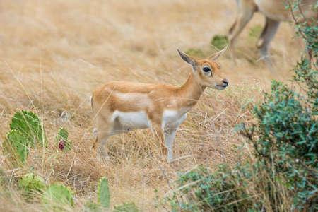 south texas: Young Wild South Texas blackbuck antelope calf Stock Photo