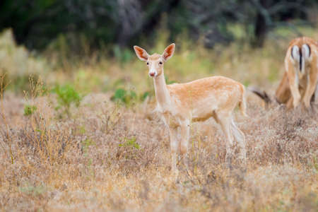 south texas: Wild South Texas spotted fallow deer fawn Stock Photo