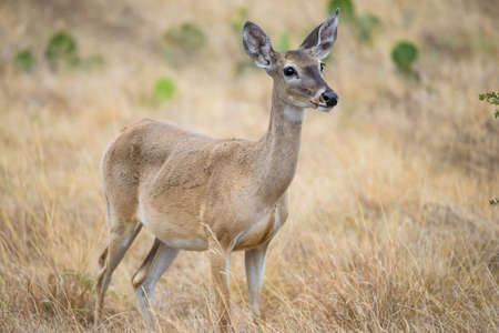 white tailed deer: Wild South Texas White tailed deer doe