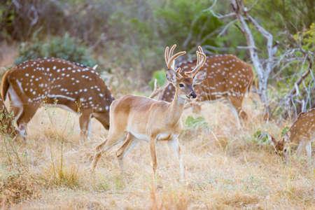 whitetail: Wild South Texas Whitetail deer buck in velvet Stock Photo