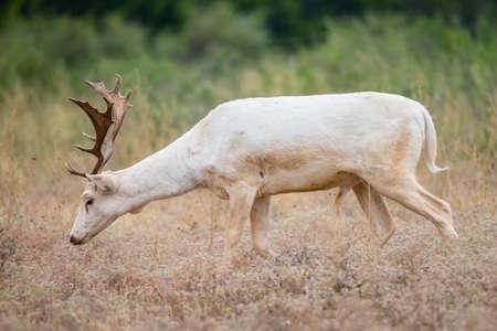 south texas: Wild South Texas white fallow deer buck