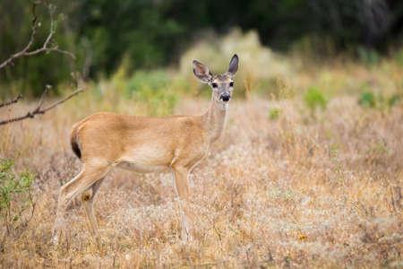 venado cola blanca: Wild South Texas Whitetail Gama de los ciervos de pie