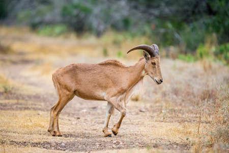barbary: Texas wild Aoudad or Barbary sheep ewe Stock Photo