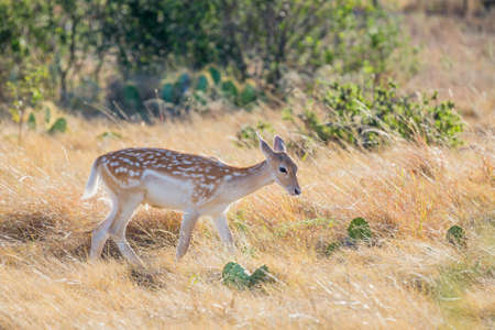 south texas: Young wild South Texas spotted fallow deer fawn
