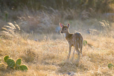 south texas: Wild South Texas Axis, Chital, or spotted Deer Fawn. Stock Photo