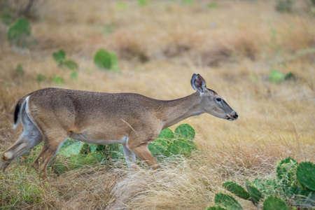 whitetail: Wild South Texas Whitetail deer doe walking Stock Photo