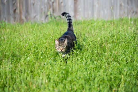 stalking: Tabby Cat Stalking outside behind tall grass