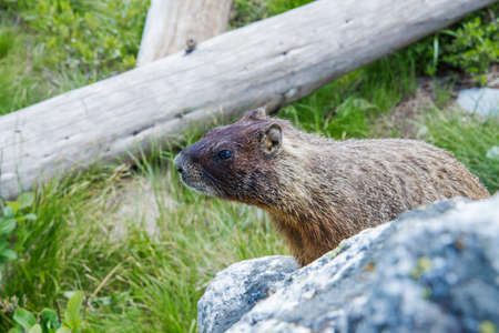 teton: Marmot looking to the left at Grand Teton National Park, USA