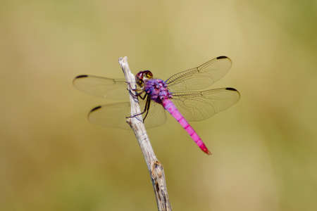 skimmer: Pink and Purple Roseate Skimmer Dragonfly on a twig Stock Photo