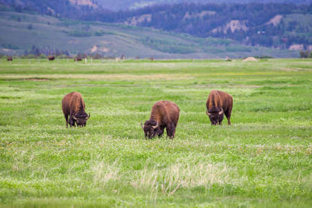 forest park: Three Bison near the Grand Teton National Park in Wyoming.