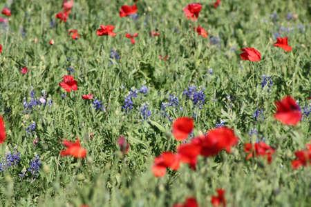 Poppy Fields Stock Photo