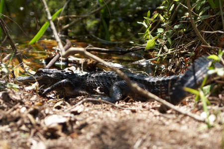 A young alligator in the wild in the everglades. photo