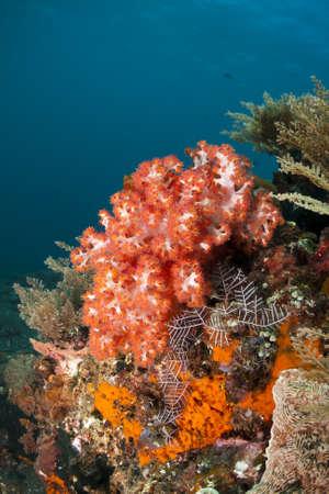 arrecife: Hermoso coral blando rojo en un arrecife cerca de Bali, Indonesia Foto de archivo