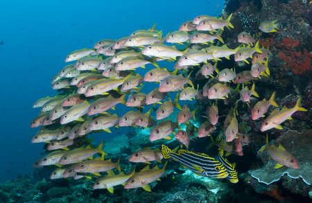 fish school: School of various tropical fish on a coral reef in Bali, Indonesia Stock Photo
