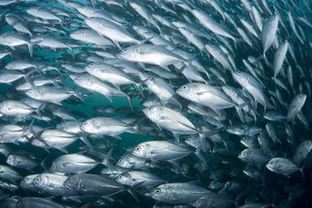 vis: School van Black Boeren over het Liberty wrak bij Tulamben, Bali