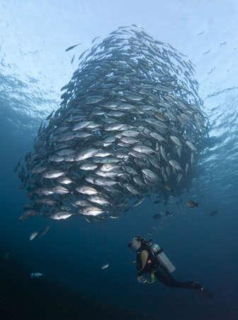 fish school: Diver watching a huge school of Black Jacks, at the Liberty Wreck at Tulamben, Bali Stock Photo