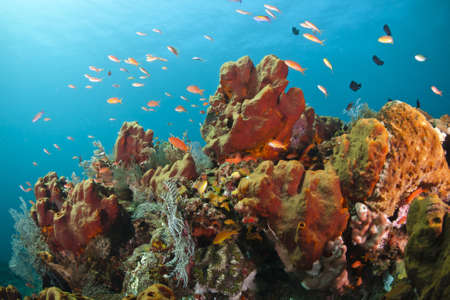 soft corals: Reef fish over a colorful coral reef at Bali, Indonesia