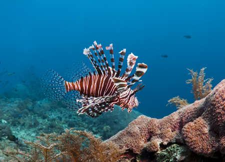 lion fish: Colorful Lion fish over a coral reef in Bali, Indonesia