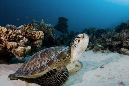 Tortuga verde en el arrecife de la casa en Marsa Shagra en el mar Rojo, Egipto