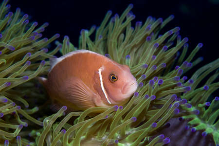 pink anemonefish: Pink Anemonefish in the Gulf of Thailand