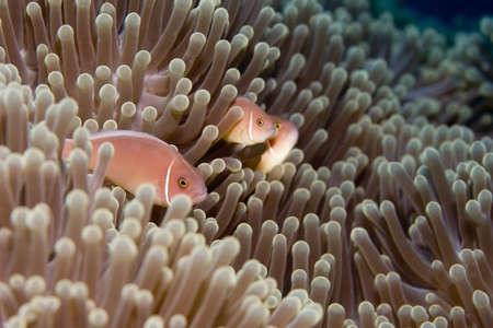 pink anemonefish: Three Anemonefish or Clownfish in an anemone