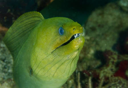 dangerous reef: Giant Green Moray Eel on a coral reef in the Caribbean Sea