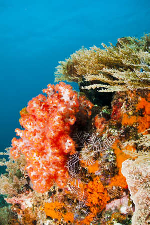 Beautiful red soft coral on a reef near Bali, Indonesia