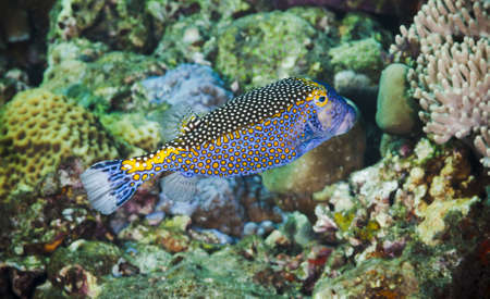 boxfish: Colorful spotted Boxfish on a coral reef in Bali, Indonesia