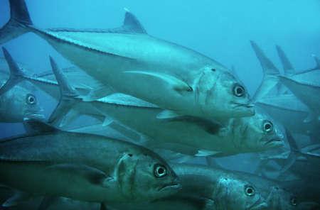 fish school: School of giant Dogtooth Tuna in the Indian Ocean